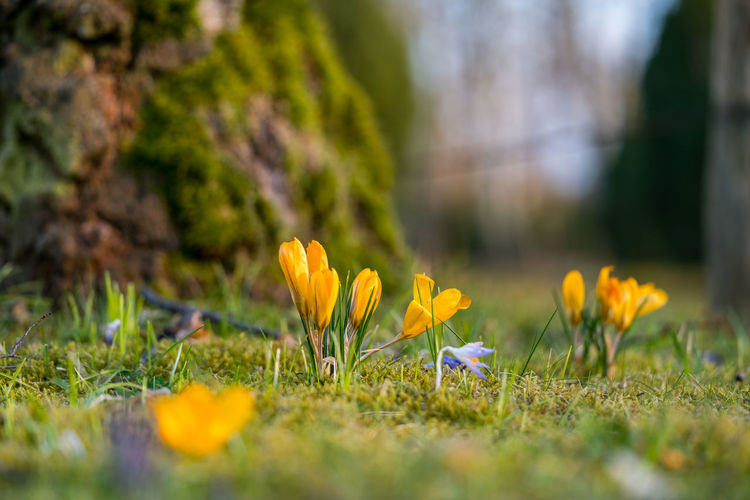 Beauty In Nature Close-up Crocus Day Field Flower Flower Head Flowering Plant Fragility Freshness Grass Growth Inflorescence Iris Land Nature No People Outdoors Petal Plant Selective Focus Springtime Vulnerability  Yellow