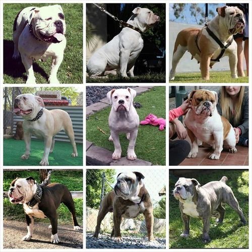 This is 1 awesome puppy with even a more awesome pedigree behind her. All of these dogs were owned or produced by One of a Kind Bulldogs except Double-Wide's Charger on bottom left. Top left One of a Kind's Cadence. Top mid One of a Kind's Cain x2. Top right One of a Kind's Cassanova aka Cassie x2 Left mid Double-Wide's I'm So Fancy. Right mid One of a Kind's Beef, It's What's For Dinner. Bottom mid SB's Diamond Jim Brady x2. Bottom right One of a Kind's Blue Bandit. Oneofakindbulldogs Oldeenglishbulldogges Oldeenglishbulldogge Oldenglishbulldogs oldenglishbulldog victorianbulldogs oeb bulldogs bulldog bulldogpuppies puppiesforsale puppies bulldogges pedigree stacked
