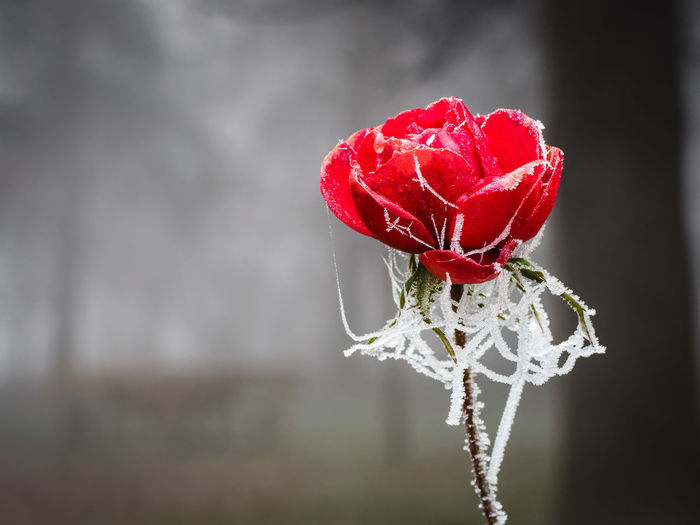The frozen rose