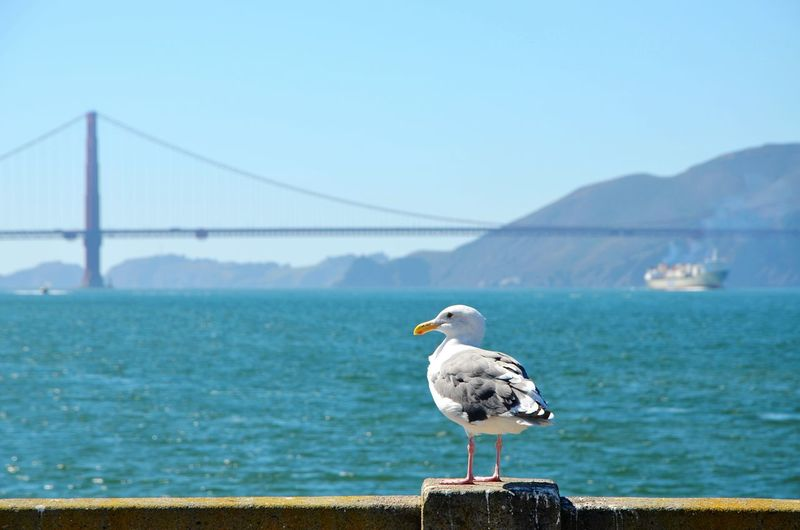 Seagull perching on railing against golden gate bridge