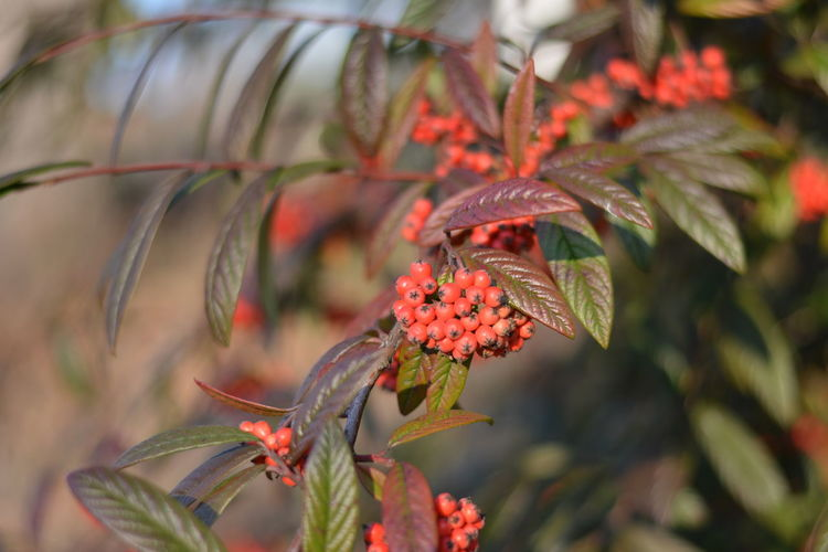 Beauty In Nature Branch Close-up Day Freshness Fruit Growth Leaf Nature No People Outdoors Plant Red Tree