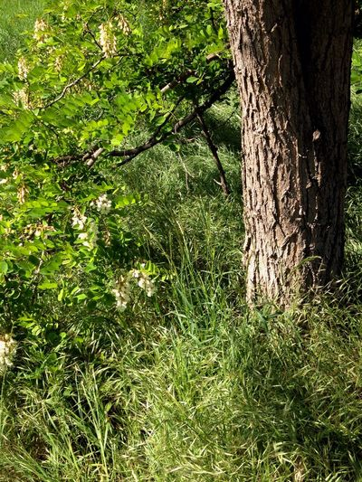 Acacia tree Acacia Tree Plant Tree Green Color Growth No People Nature Day Grass Outdoors Beauty In Nature Tree Trunk