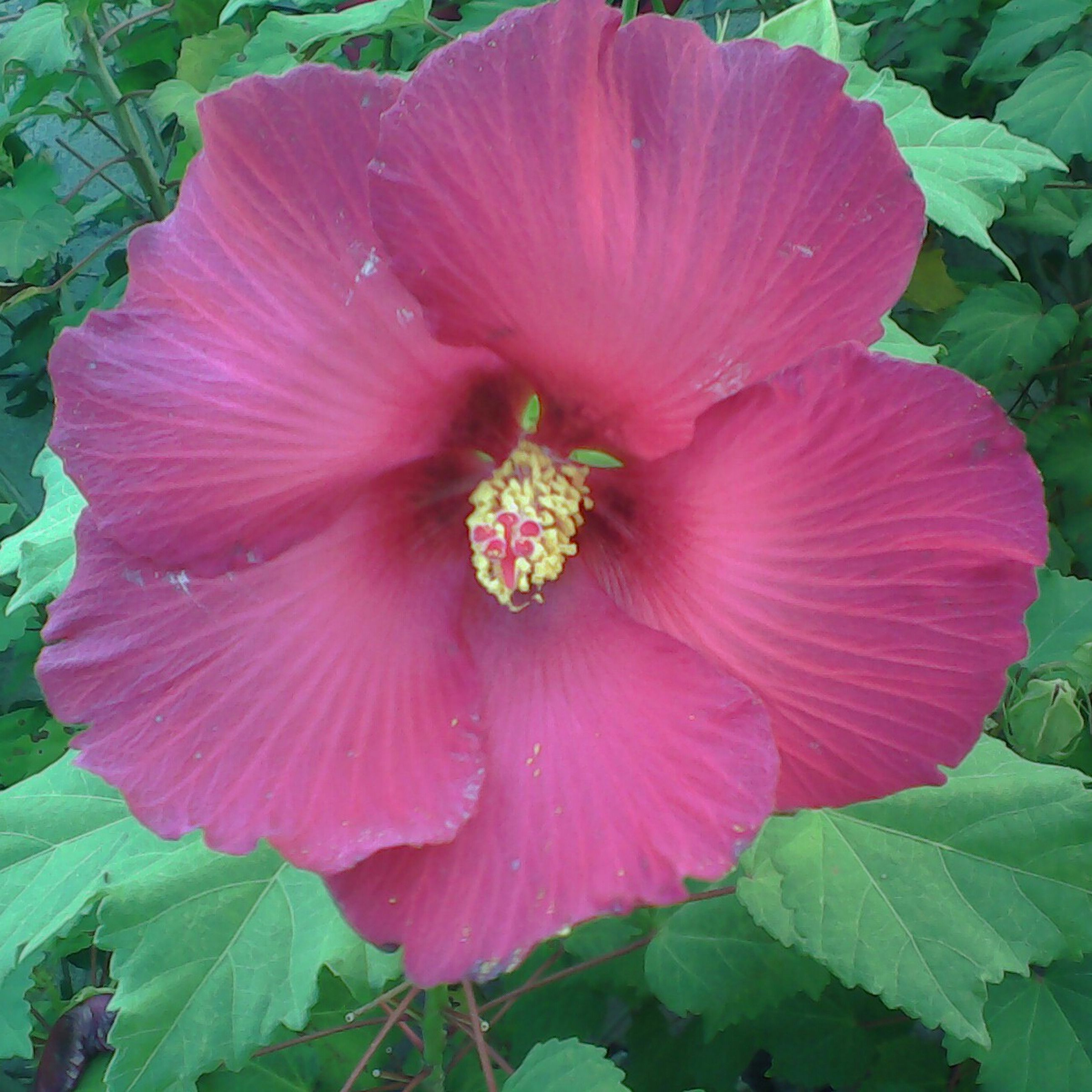 flower, freshness, petal, flower head, growth, fragility, beauty in nature, leaf, single flower, close-up, plant, nature, blooming, pink color, pollen, stamen, hibiscus, in bloom, green color, blossom