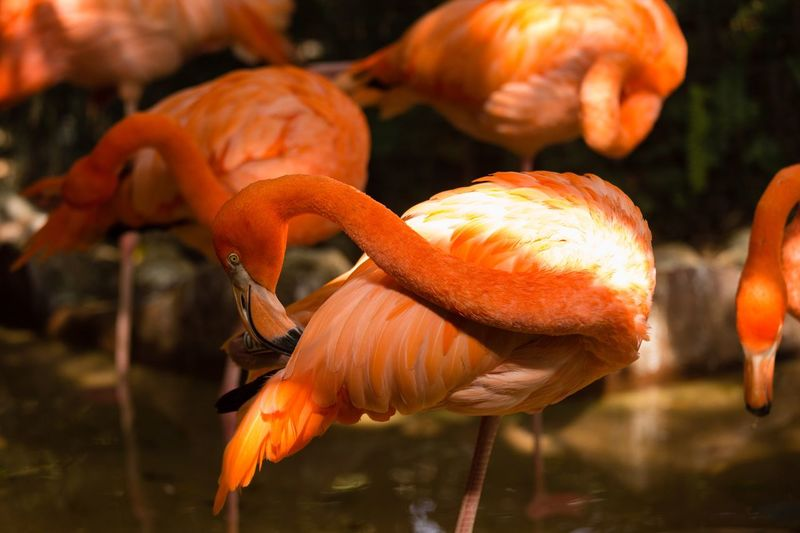 flamingo Flamingo Orange Color Close-up Focus On Foreground No People Animal Wildlife Animals In The Wild Nature Animal Themes Animal Food And Drink Water Outdoors Beauty In Nature Sunlight