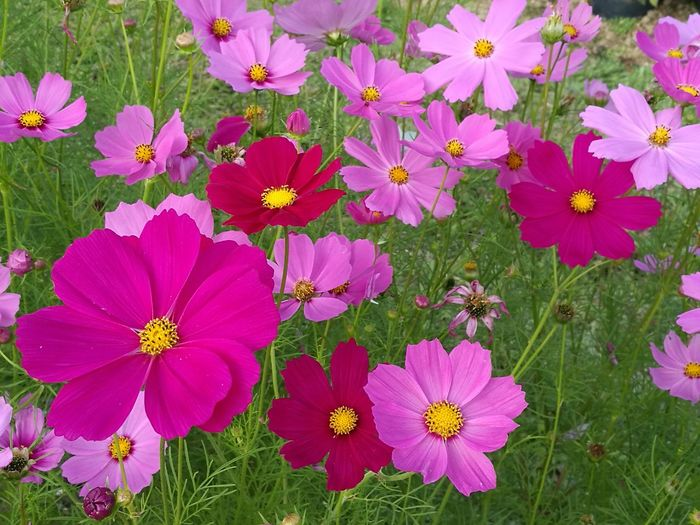beautiful flowers Flower Pink Color Growth Beauty In Nature Petal Nature No People Outdoors Flower Head Day Plant Blooming Close-up Freshness