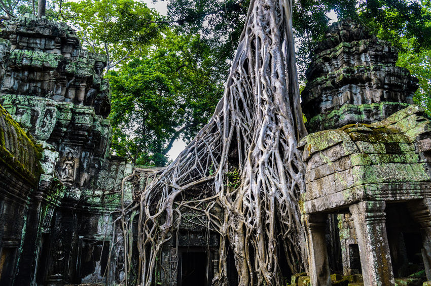 Ta Phrom Tree Tree Trunk Tree Roots  Banyan Tree Roots Banyan Tree Day Growth Low Angle View Nature Outdoors No People Branch Close-up Khmer Empire Ta Phrom Temple Siem Reap, Cambodia Travel Photography Travel ASIA UNESCO World Heritage Site