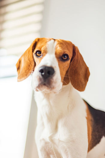 Beagle dog with big eyes sits and looking towards the camera in bright interior