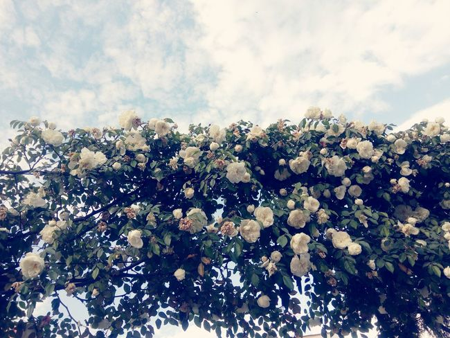 White roses White White Collection White Rose Rosé Flower Sky Close-up Cloud - Sky Flower Head Blooming Plant Life