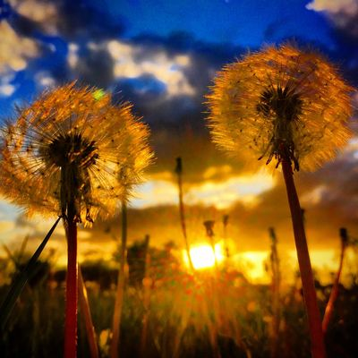 Dandelions flowers at sunset in Northamptonshire Sunset Dandelions Flowers Northamptonshire Northampton Northants Weather Sun Summer Flower Fields Field