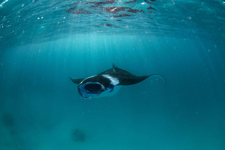 Manta Rays in Hanifaru bay, Maldives Underwater Zoology Turquoise Colored Sea Life Animals In The Wild Animal Themes Sea Swimming Animal Water UnderSea Fish Marine Manta Manta Ray Hanifaru Maldives Diving