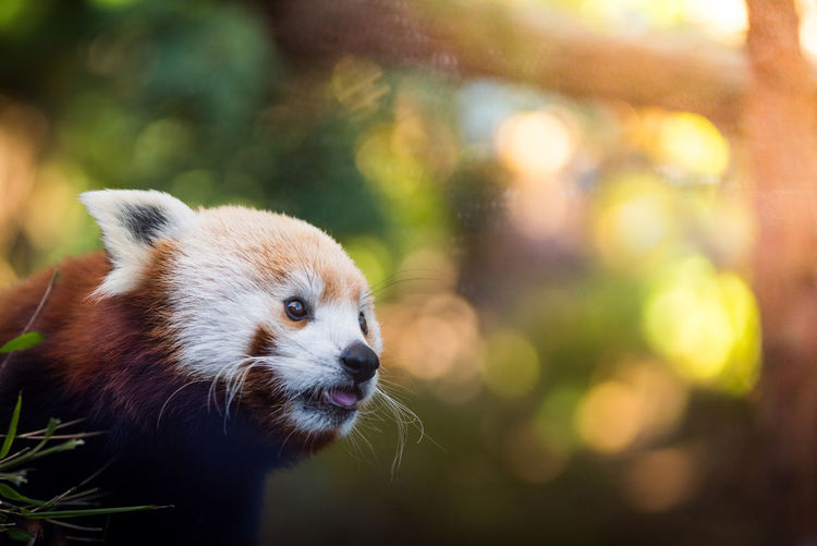 Close-up of red panda outdoors