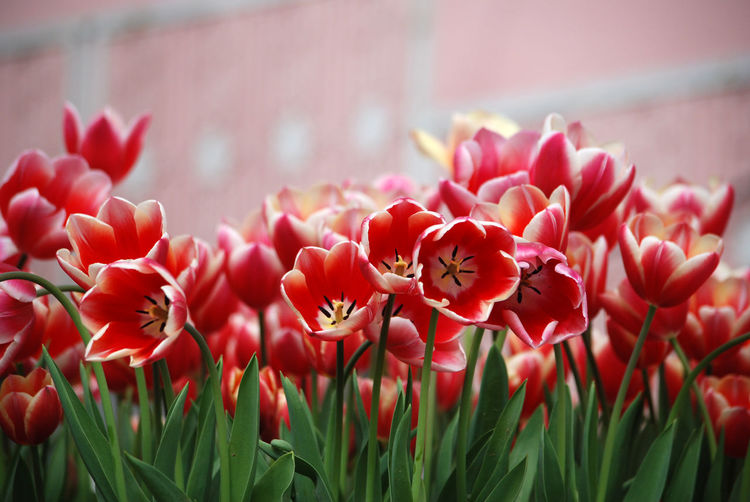 Tulips Red Flower Flowering Plant Plant Beauty In Nature Freshness Flower Head Close-up Nature Outdoors Day