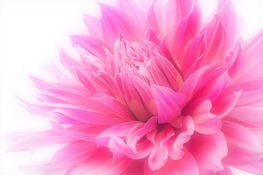 Dahlia. Flowers EyeEm Nature Lover Nature_collection Flowerporn