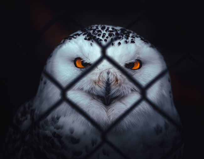 Bubo scandiacus at the ZOO Bubo Scandiacus Owl Snowy Owl One Animal Looking At Camera Portrait Animal Body Part Close-up Front View Eye Animal Eye Zoo Animal At The Zoo Behid The Fence Eyes Orange Color Strict