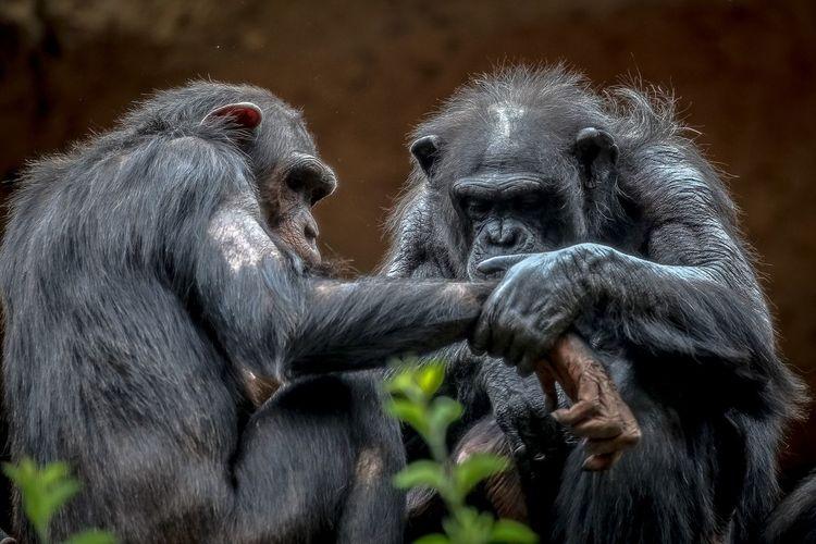 Close-Up Of Chimpanzees At Zoo