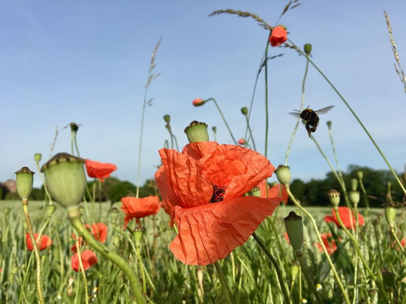 Growth Flower Nature Beauty In Nature Plant Petal Freshness Fragility Poppy Day Field Red Leaf No People Focus On Foreground Outdoors Flower Head Blooming Close-up Sky EyeEm Nature Lover Bumblebee Klatschmohn Klatschmohnblüte