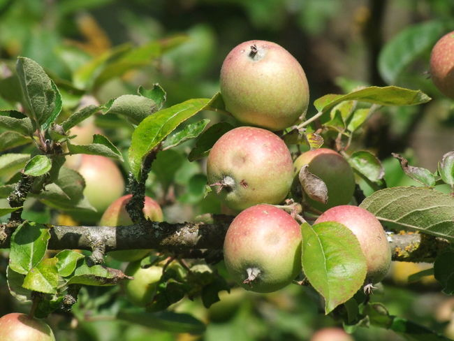Essing Apple Apple - Fruit Apple Tree Branch Close-up Day Food Food And Drink Freshness Fruit Fruit Tree Green Color Growth Healthy Eating Leaf Nature No People Outdoors Plant Plant Part Ripe Tree Wellbeing