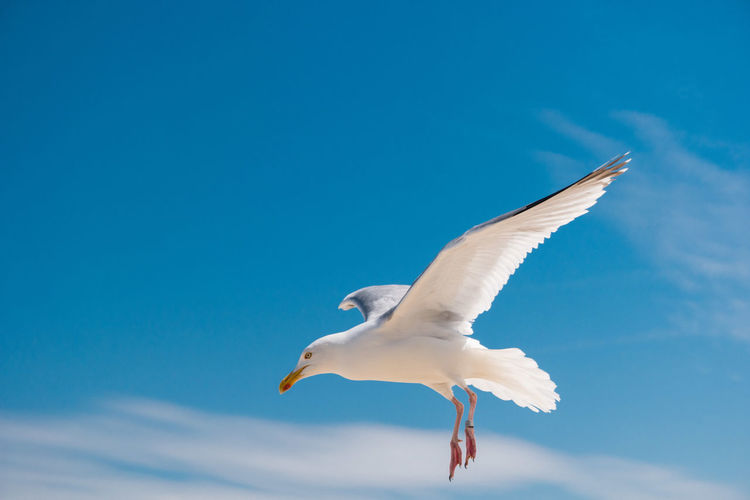 Animal Themes Animals In The Wild Bird Close-up Day Flying Low Angle View Motion Nature No People One Animal Outdoors Seagull Sky Spread Wings