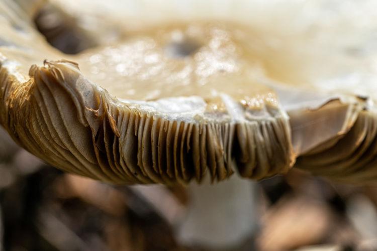 Gills of a wild grown mushroom fungi