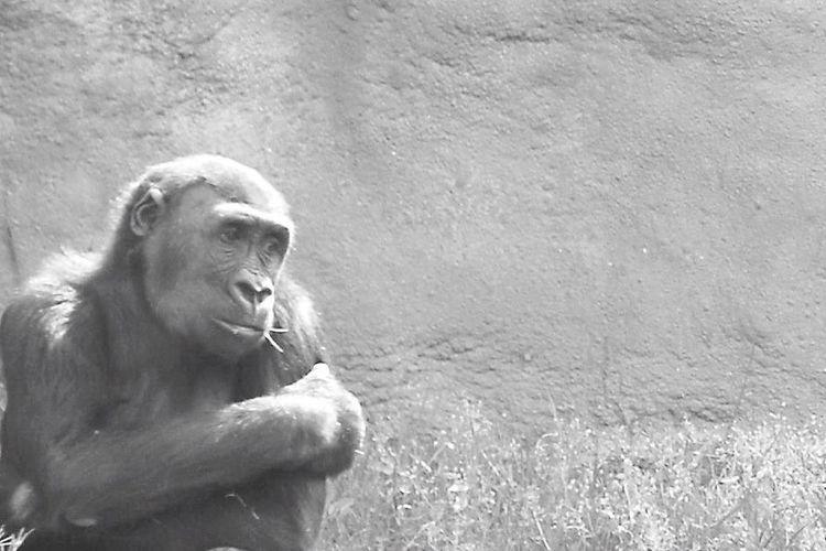 Gorila Animals Zoo