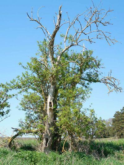 Tree Dead Tree Sunny Day