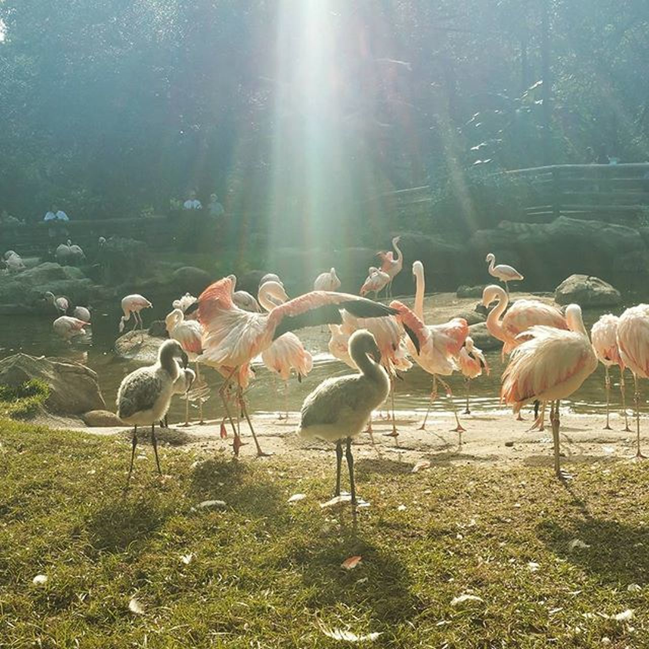 animal themes, nature, animals in the wild, large group of animals, sunlight, field, animal wildlife, bird, outdoors, day, no people, grass, beauty in nature, landscape, tree, flamingo