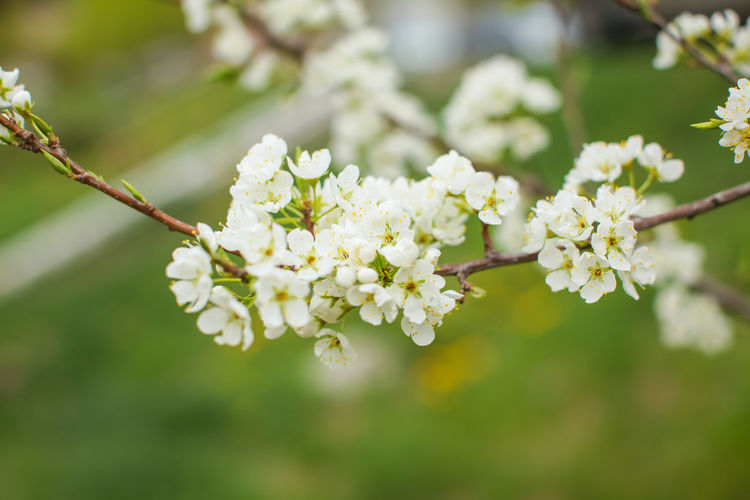 Plum Spring