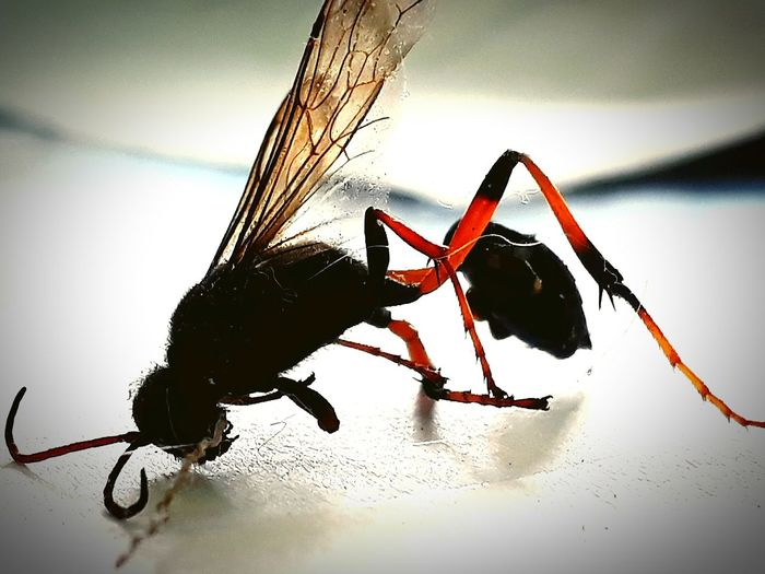 South Africa Sting Hornet Bee Scary Dead Insect Close-up Insect Wasp African Wasp No People Animal Wildlife Nature