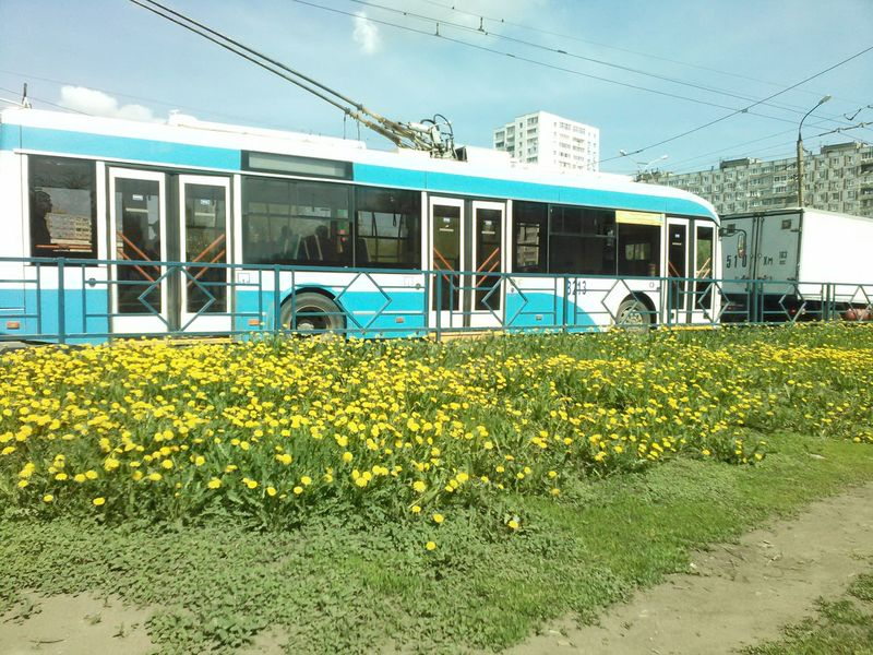 flowers in the city; yellow flowers, dandelions, spring in the city, month may, solarly; the tram goes along a beautiful route, traffic jam