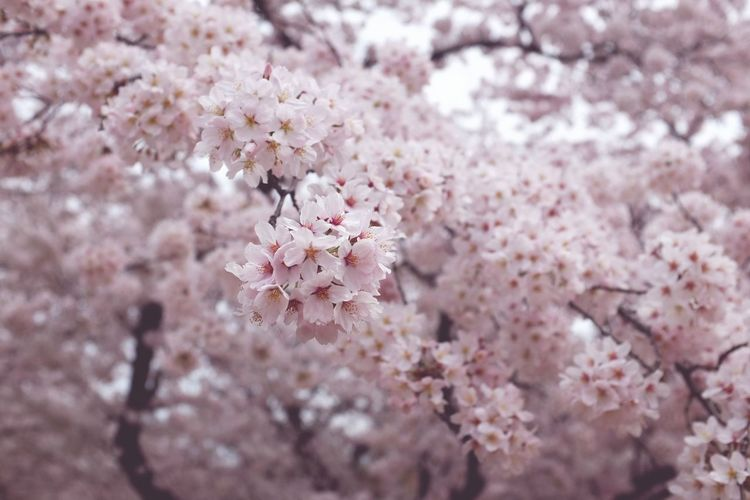 EyeEm Selects Cherry Blossom Flower Springtime Blossom Tree Pink Color Fragility Beauty In Nature Nature No People Growth Branch Close-up Outdoors Flower Head Day Plant Backgrounds Freshness Japan Kyoto, Japan Sakura