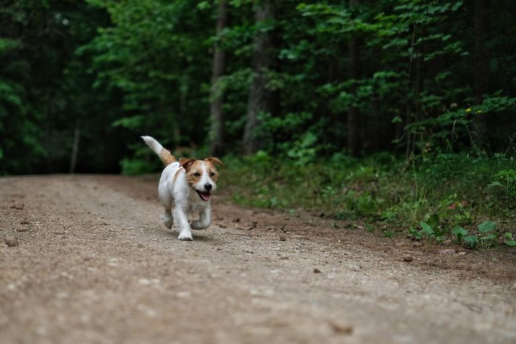 Dog running on dirt road in forest