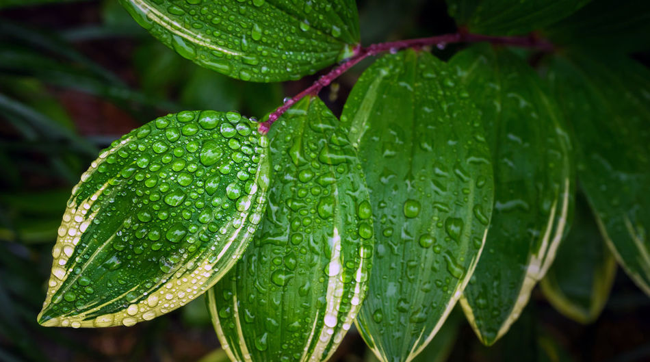Simplicity of Nature Green Color Leaf Water Plant Part Drop Wet Plant Growth Close-up Beauty In Nature Freshness Nature No People Focus On Foreground Day Food And Drink Rain Outdoors Dew Leaves Rainy Season RainDrop Purity Nature Simplicity