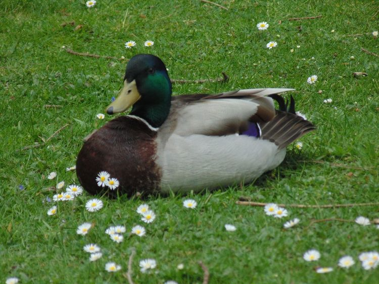 Mallard Duck Duck Quack Daisy Flower Daisy Grass Field Animal Themes Bird Nature Animals In The Wild One Animal Outdoors Green Color Beauty In Nature No People Day Growth Close-up
