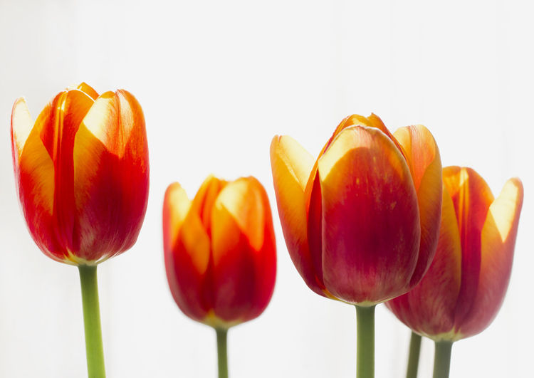 Close-up of red tulips against white background