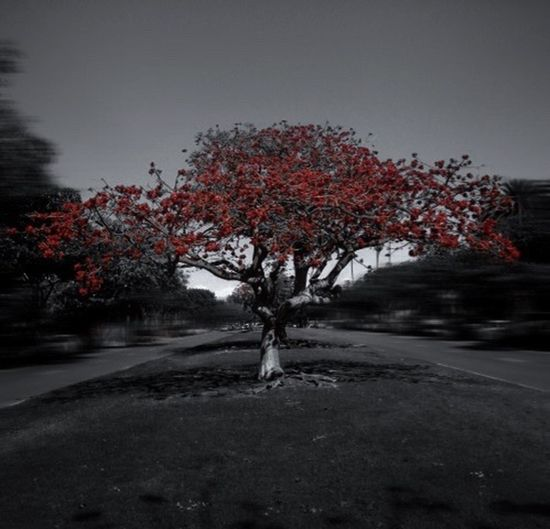 Coral trees... Eye4photography  Popular Photos ForTheLoveOfPhotography Light And Shadow The Places I've Been Today Street Photography Tree_collection  Colorsplash_bw Spring Has Arrived Taking Photo