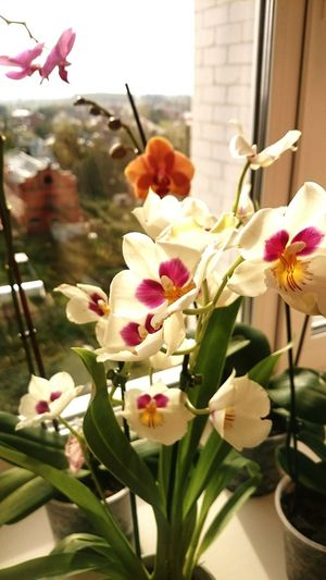 Taking Photos Hello World Hi! Beauty Flowers Flower Photography Orchid Miltonia Orchid Naturel Beauty Autumn