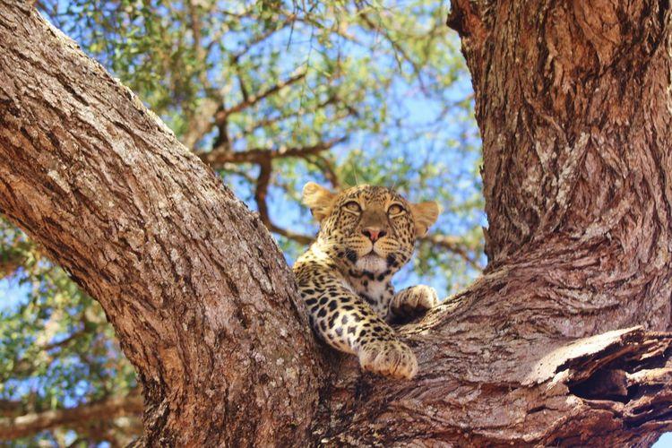 Carnivore African Safari African Big Five Feline Leopard On A Tree Animal Portrait Animals In The Wild Tree Travel Destinations Leopard Africa Animal Themes Nature Savannah Animal Animal Themes Leopard