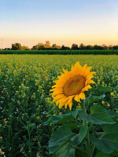 Sunflower. Sunset. Summer. Growth Plant Flower Flowering Plant Yellow Beauty In Nature Field Sunflower Freshness Sky Landscape Flower Head Fragility Green Color Agriculture Nature No People Land Rural Scene Vulnerability