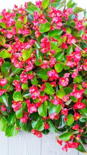 coral geraniums