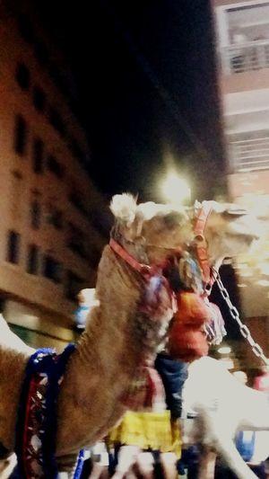 Animal Camel