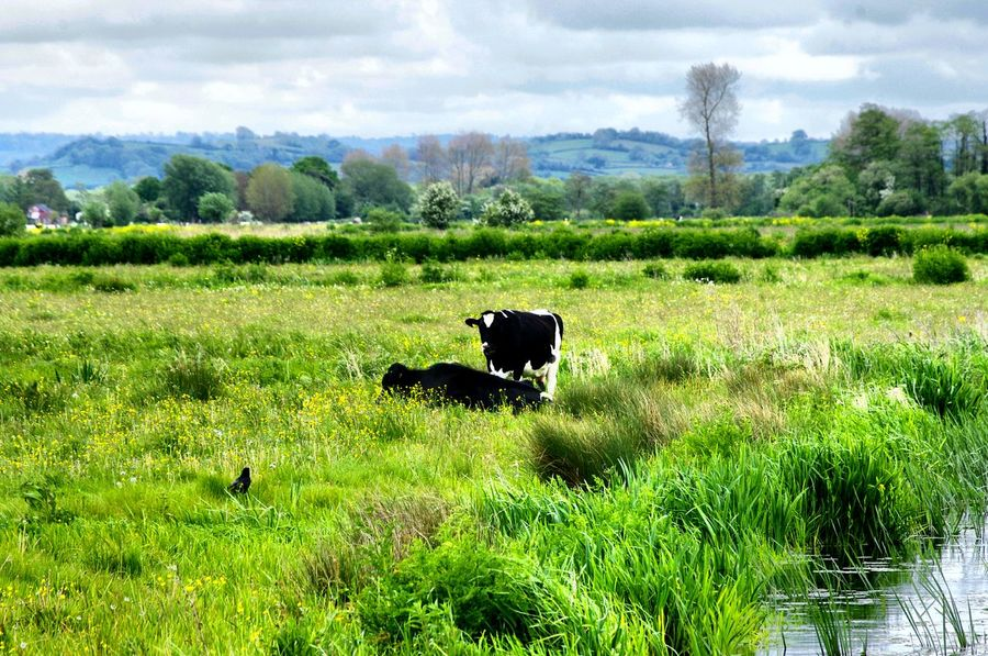 Animal Themes Tree Green Color Cloud - Sky Growth Mammal Domestic Animals Agriculture Grass Field Landscape Somerset Levels Uk Nature On Your Doorstep Tranquility