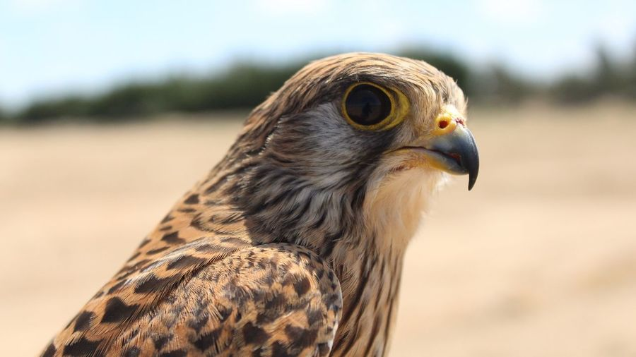 Close-Up Of Kestrel