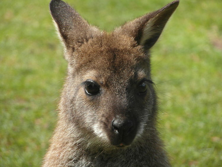 EyeEm Best Shots EyeEm Gallery Animal Themes Animal Wildlife Animals In The Wild Close-up Cute Animals Day Furry Grass Looking At Camera Mammal Nature No People One Animal Outdoors Portrait Sweet Wallaby