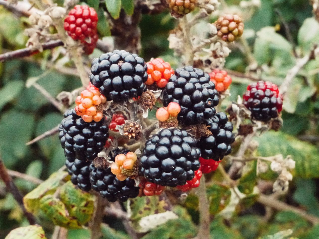 fruit, food and drink, berry fruit, blackberry, nature, focus on foreground, no people, growth, food, outdoors, close-up, day, freshness, tree, healthy eating, plant, red, beauty in nature