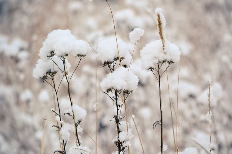 Close-up of white flowers in snow