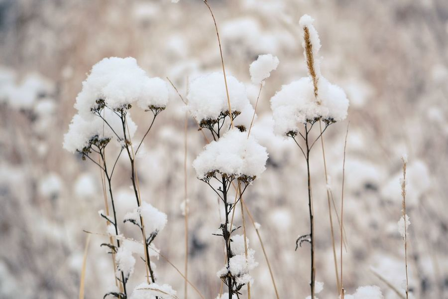 Plant Flower Winter Snow Covered Snowfall Textured  Frozen Winter Snow Cold Temperature Wintertime Weather Beauty In Nature Patterns In Nature Backgrounds Background Flower In Snow Full Frame Plant Flower Head Frost Pattern Tranquility Uncultivated Growth