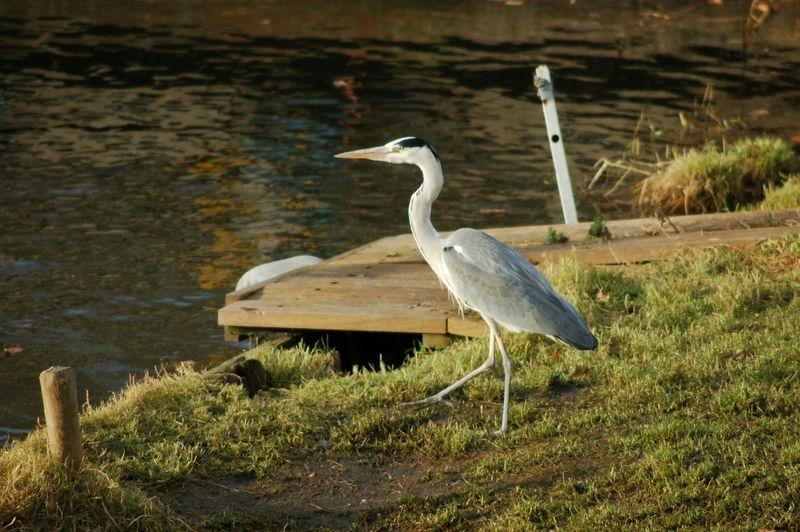 Heron Bird Photography Water Reflections No Edit/no Filter