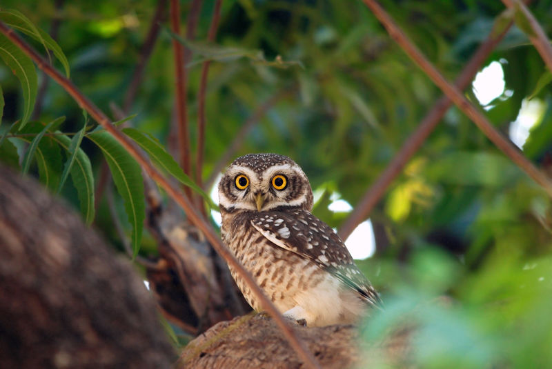 indian spotted owlet sitting on tree and looking at camera at evening time Beauty In Nature Birds India Nature India Migratory Birds Nature Wildlife Wild India Asian  Wildlife & Nature Animals In The Wild Animals Birds Of India Wild Birds Predator Bird Portrait Looking One Animal Bird Of Prey Spotted Owlet Bird On Tree Birds Eye Owl Outdoors No People