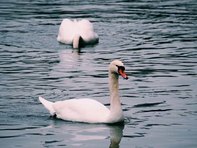 Swan lake EyeEm Best Shots Purist No Edit No Filter EyeEm Nature Lover Eye4photography  Beauty In Nature Lake Swan Bird Swimming Water Lake Beak Water Bird Close-up White Swan