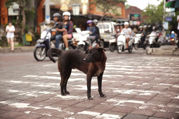 Dog Looking Away On Road Against People Riding Scooters